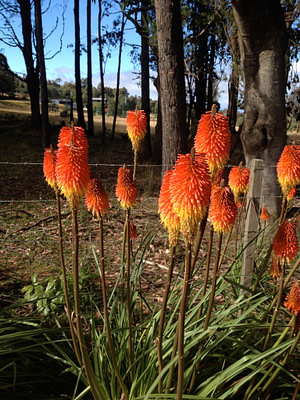 What I call fire stick flowers